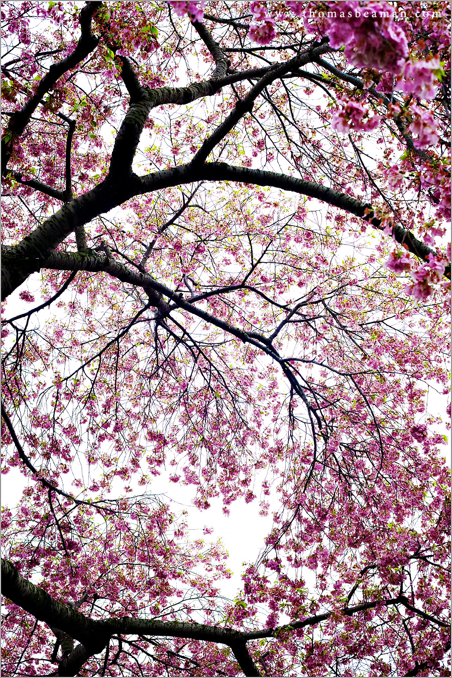 Washington Dc Cherry Blossom Pictures 2012 Lancaster And
